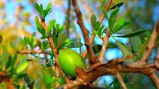 Arganový olej se získává z plodů argánie trnité.