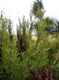 Rozmarýn je vyhlášenou bylinkou, která je mimo jiné i součástí provensálského koření.